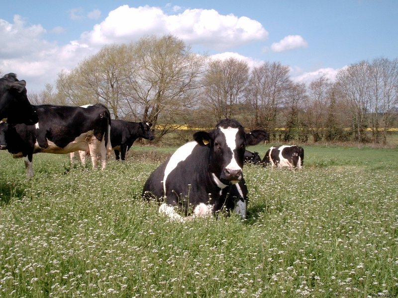 Blackmore Farm Dairy Herd