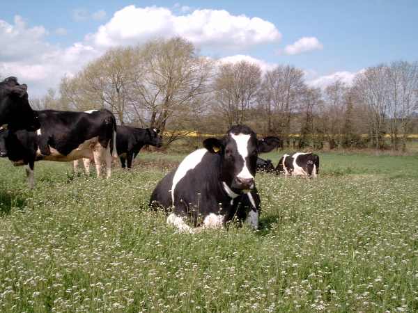Blackmore Farm Dairy Cows